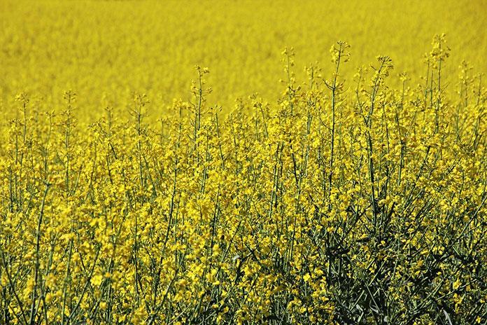 Jak powstrzymać łamliwość źdźbła zbóż przed zniszczeniem roślin